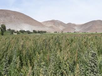 quinoa sourcing-2